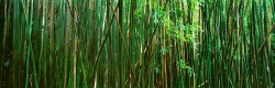 bamboo-forest-lahaina-maui-hawaii-buy-limited-edition-photography-ric-steininger-gallery-Bamboo