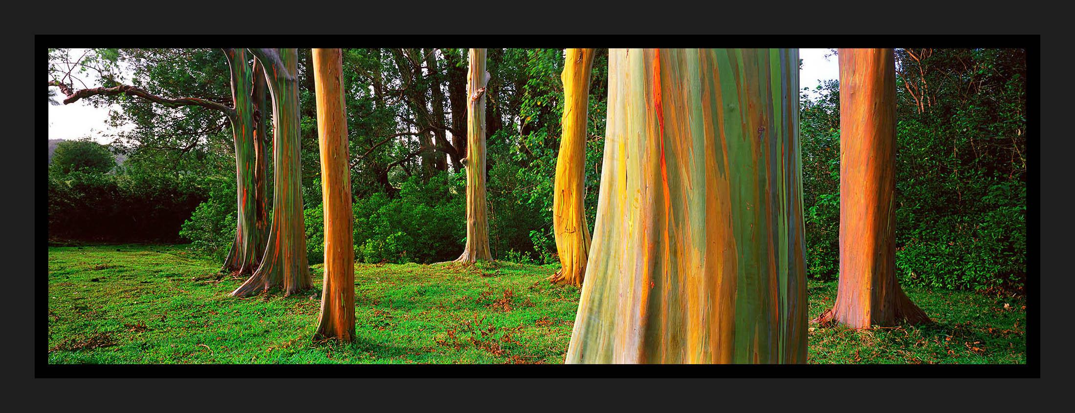 Rainbow Gums